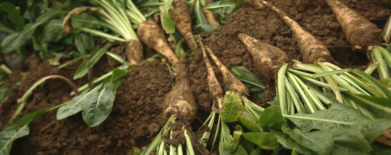 Chicory root fibre