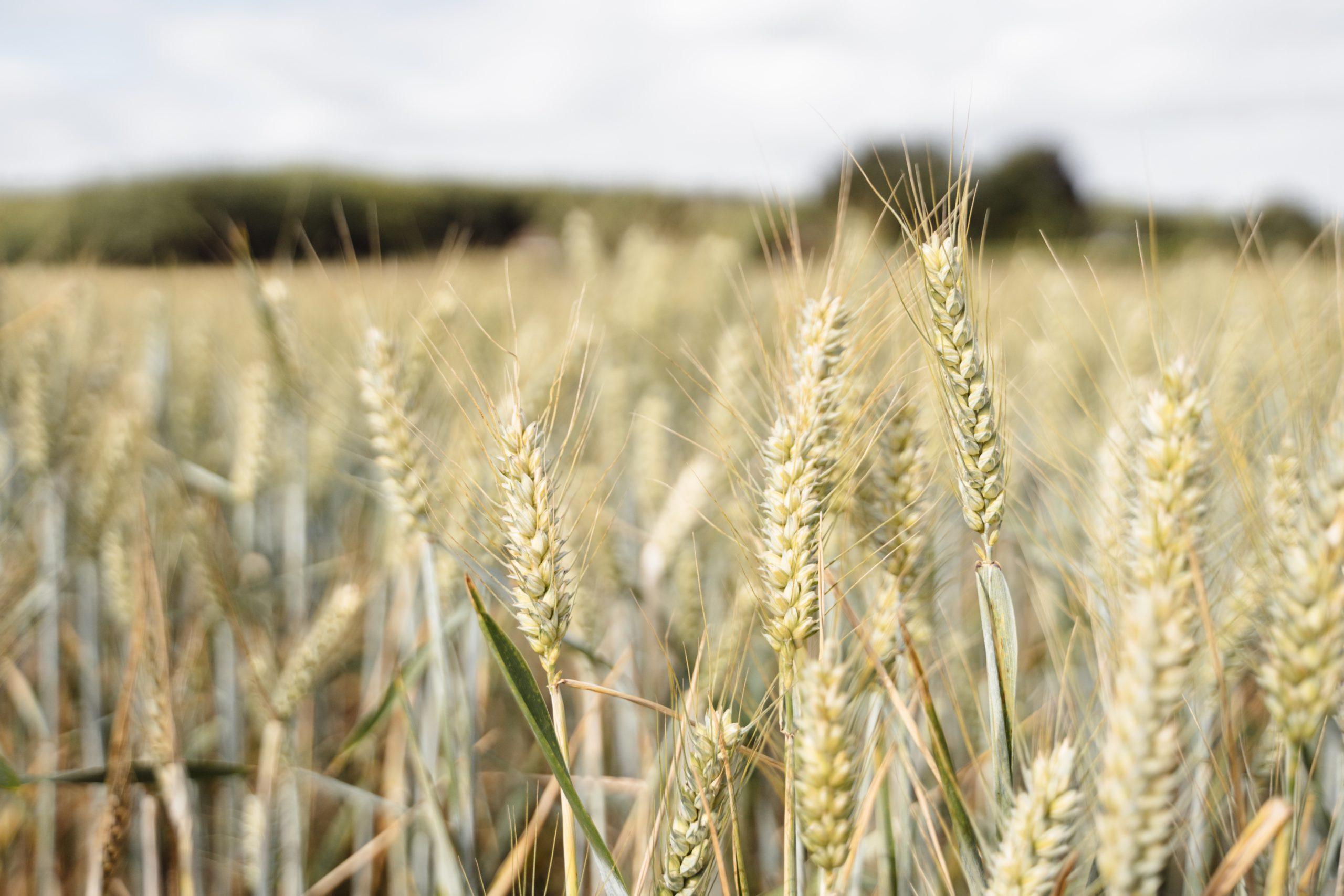 Emergency situation hits durum wheat